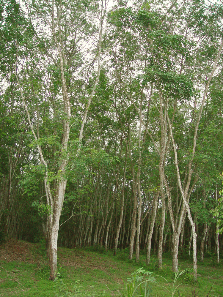 Rubberwood Tree Plantation